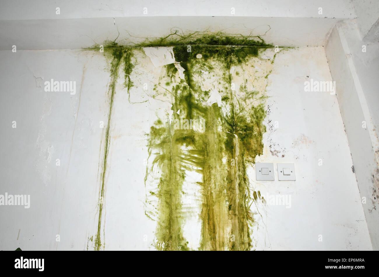 Grüner Schimmel an der weißen Decke und Wand, mit zwei Lichtschalter ...