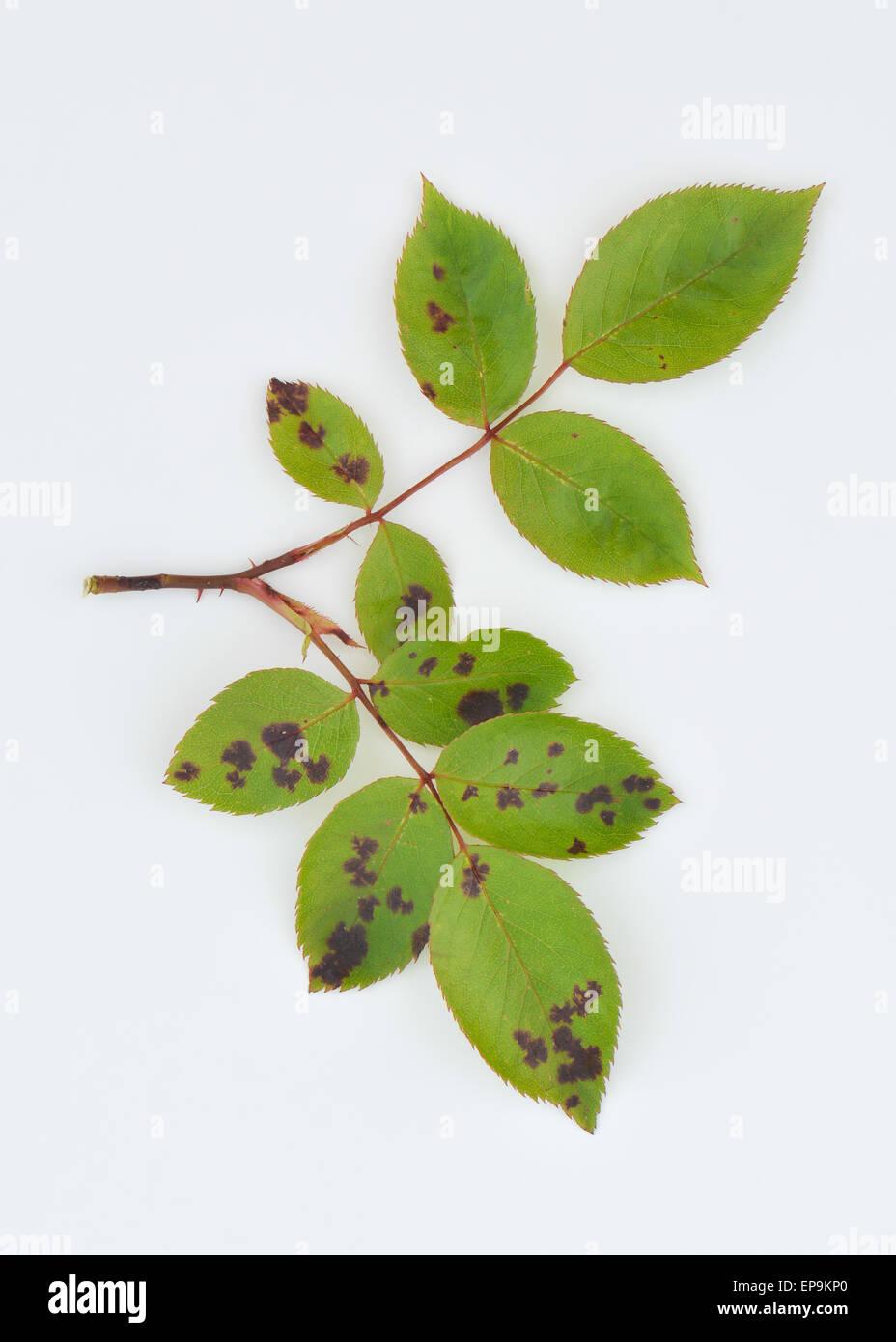 Rosenblätter im Frühjahr Klassiker Anzeichen für eine Rose Black Spot - eine ernste Krankheit verursacht Stockbild