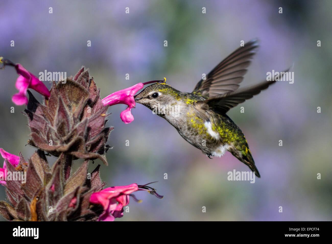 Kolibri Annas, Calypte anna Stockbild