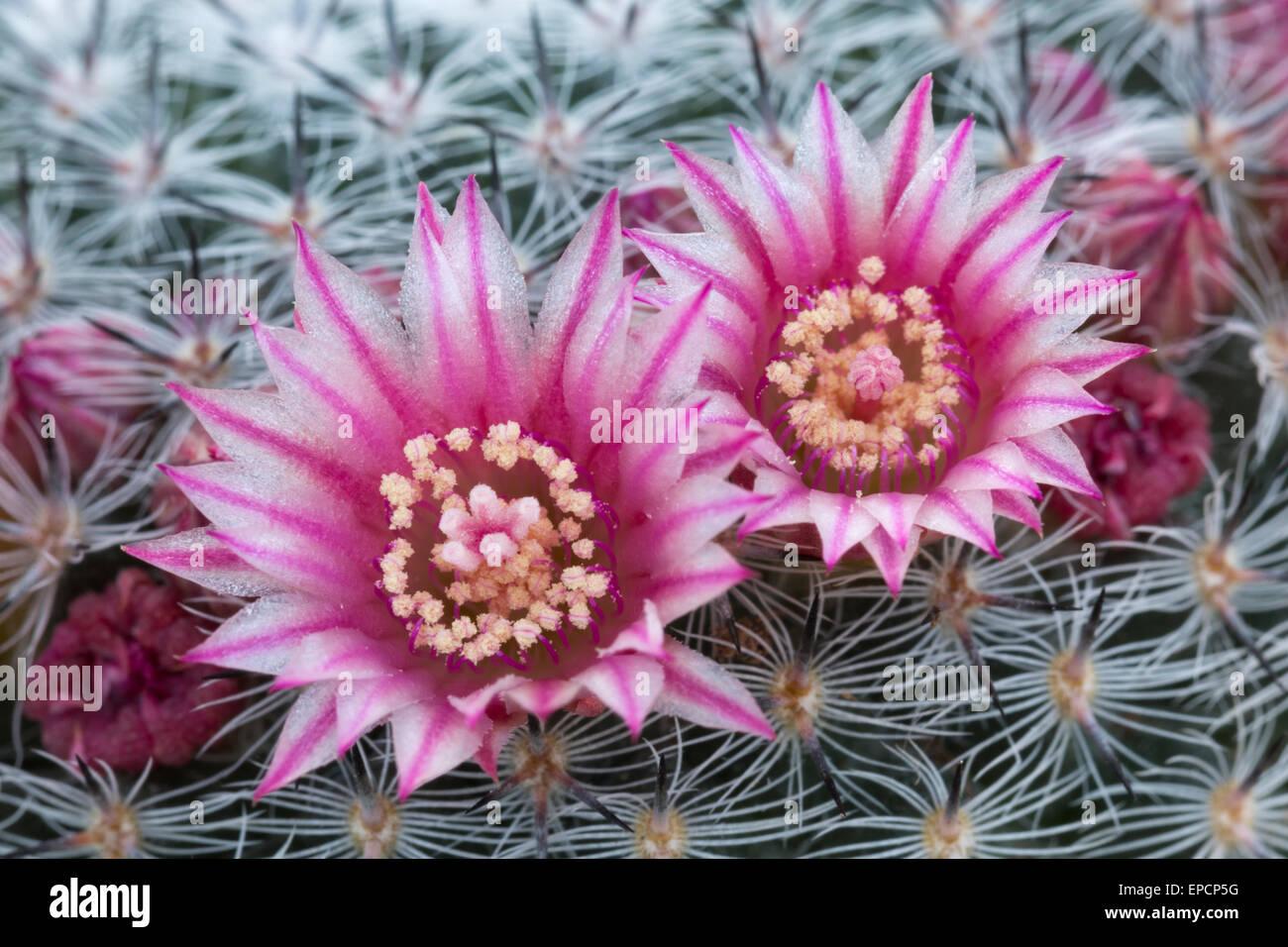 Innenarchitektur Blumen Mai Ideen Von Mammillaria Pseudoperbella, Blumen, Mai. Im Anbau (orig.