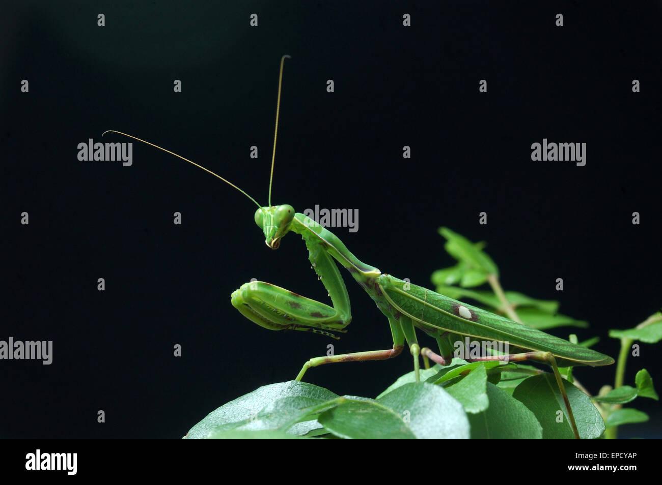 Gottesanbeterin wartet ein anderes Insekt in Tamil Nadu, Südindien Essen entdeckt Stockbild