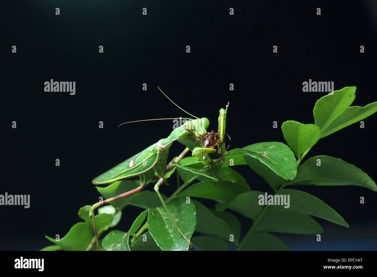 Gottesanbeterin, Essen und anderen Insekten in Tamil Nadu, Südindien entdeckt Stockbild
