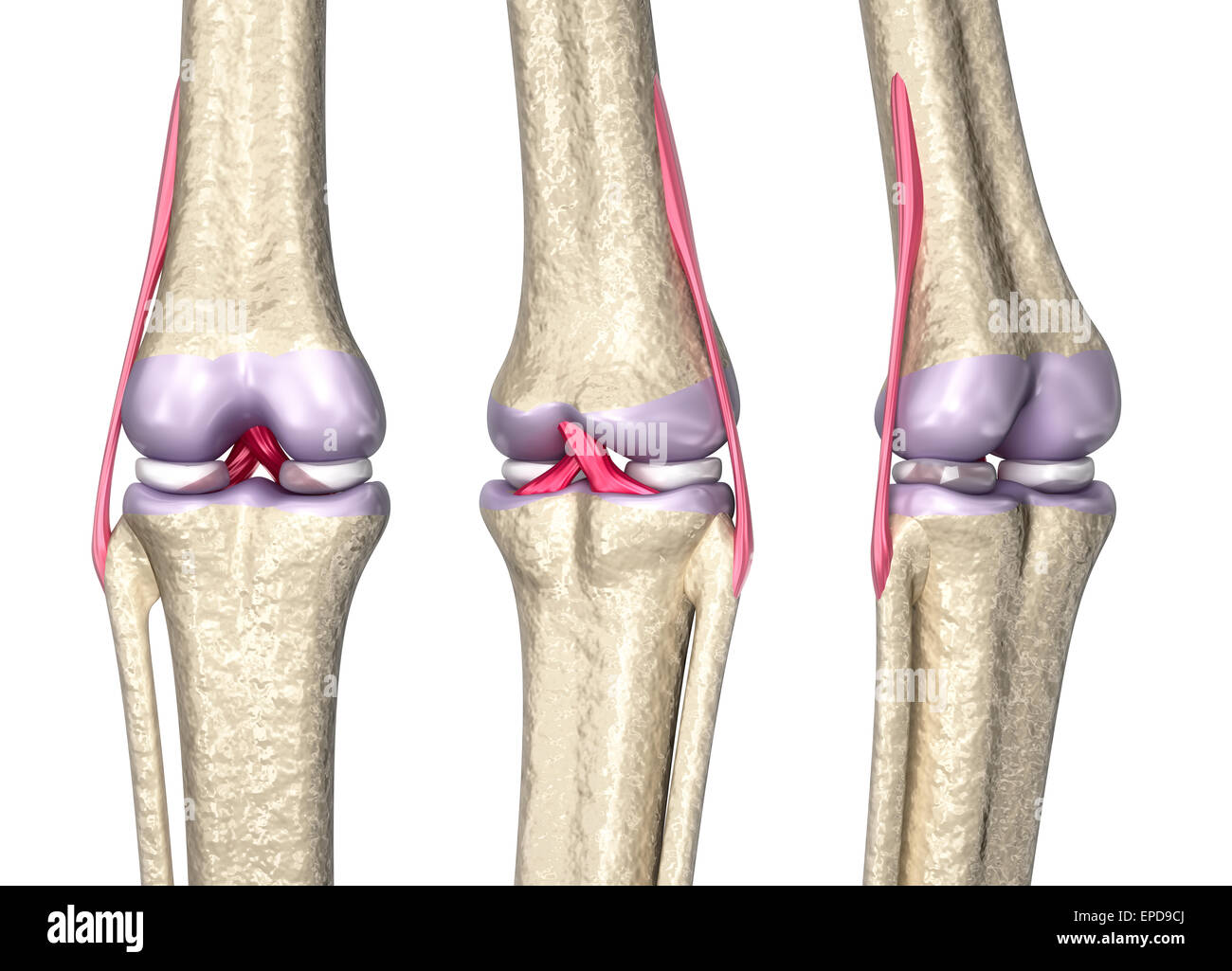 Knie gemeinsamen Anatomie, 3D-Modell Stockfoto, Bild: 82656690 - Alamy