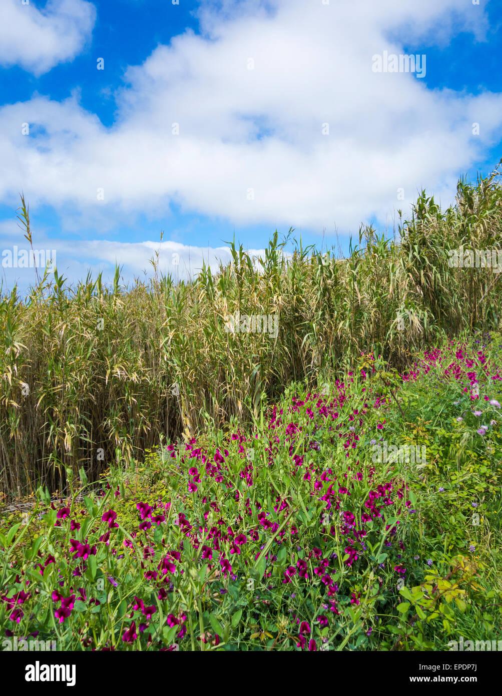 Wilde Wicken (Lathyrus Tingitanus) wächst am Straßenrand auf Teneriffa, Kanarische Inseln, Spanien Stockbild