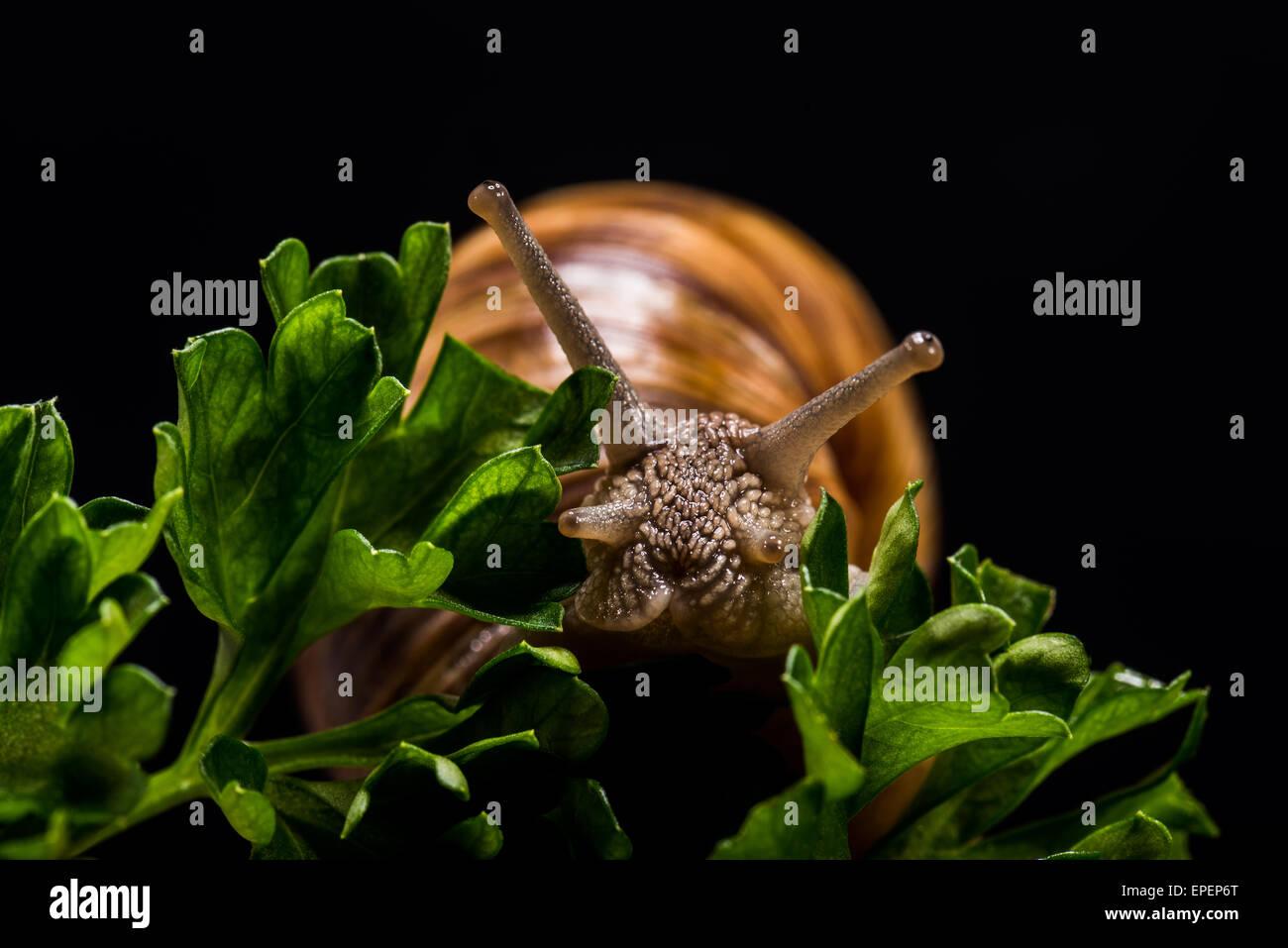 Schnecke Weinberg im Studio, Porträt tierischen Schädling frisst Gemüse, Sehnsucht Augen Teleskop Stockbild