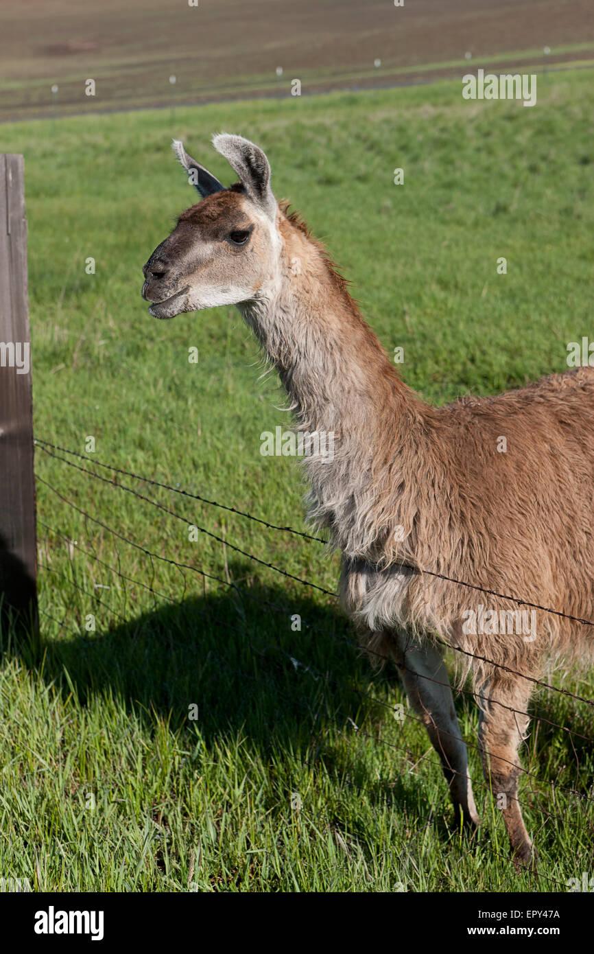 SideView Lama vom Zaun. Stockbild