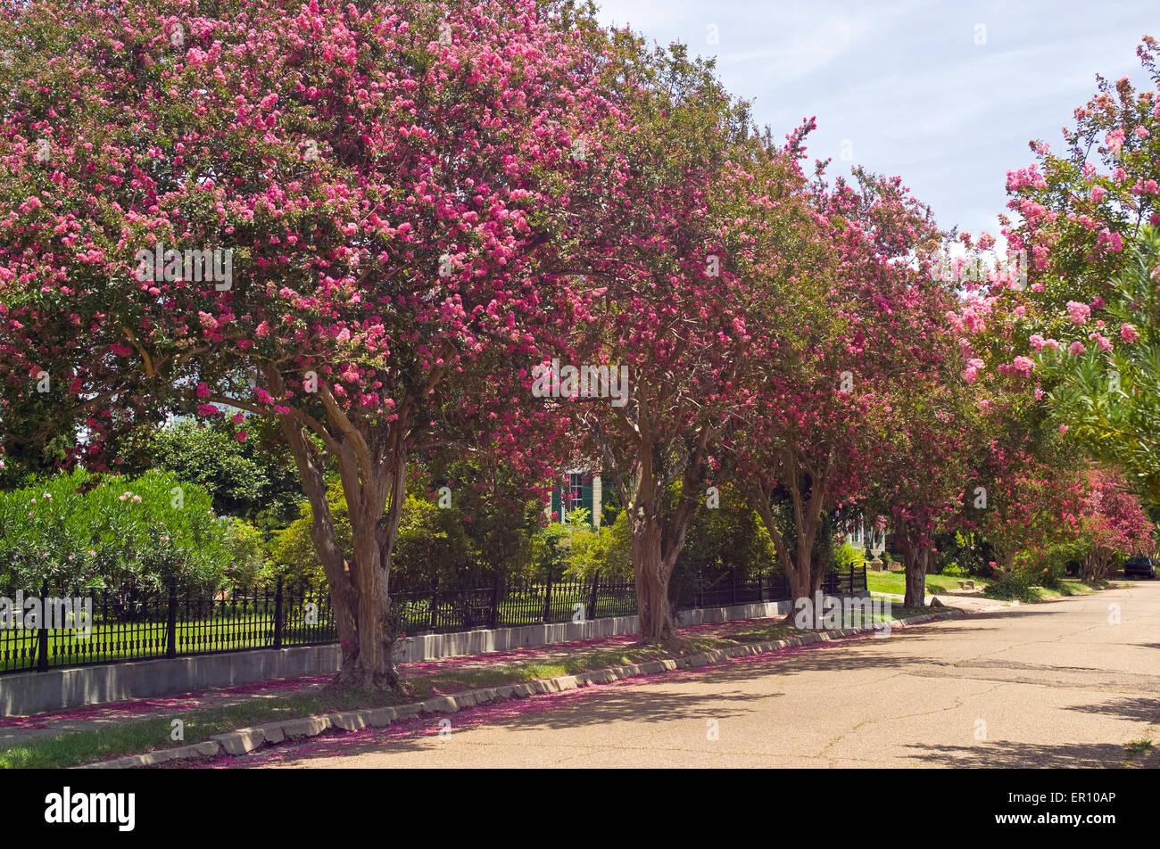 Trauerflormyrte Blütenbäumen bringen leuchtende rosa Farben, einer ruhigen Wohnstraße im historischen Stockbild