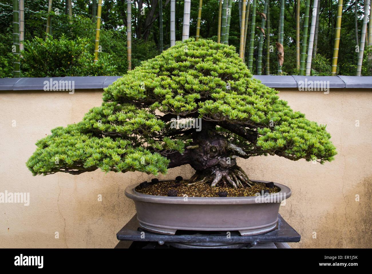 bonsai ist eine japanische kunstform mit miniatur b ume in containern angebaut stockfoto bild. Black Bedroom Furniture Sets. Home Design Ideas