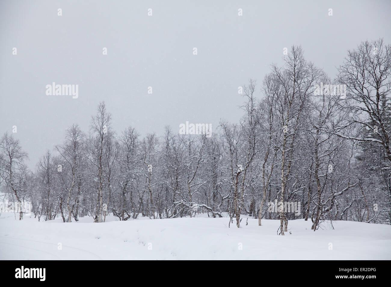 Schnee und Birken in Vengedalen, Rauma Kommune Møre Og Romsdal, Norwegen. Stockbild