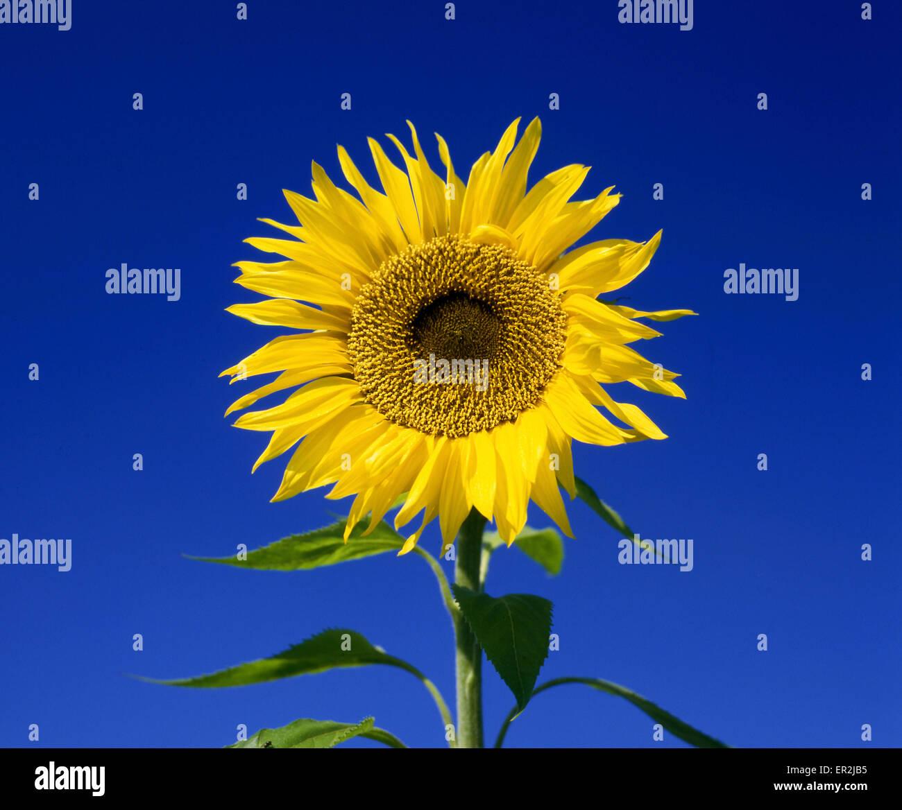 pflanzen blume spieleheustadl himmel gelb blau bluete bluehen nutzpflanze sonnenblume. Black Bedroom Furniture Sets. Home Design Ideas