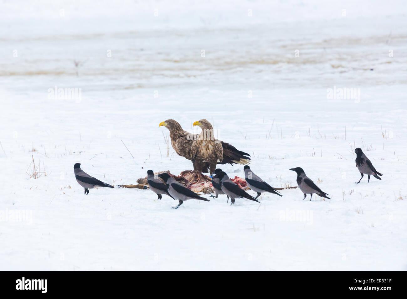 Zwei Erwachsene Seeadler, Haliaeetus Horste mit Beute und Nebelkrähen herumlaufen Stockbild