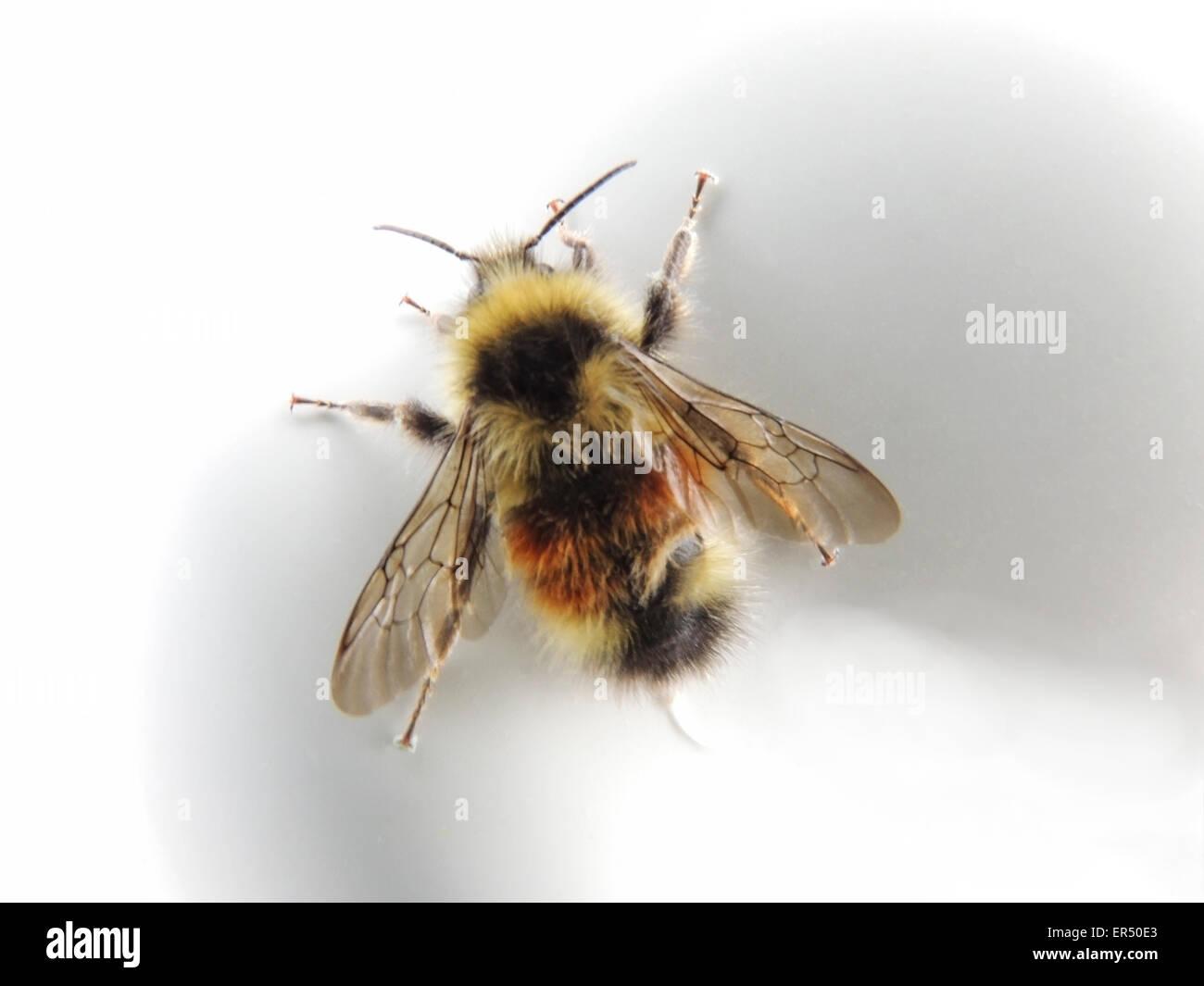 Bienen sind fliegende Insekten, die fressen hauptsächlich auf Pollen und Nektar. Man findet sie überall Stockbild