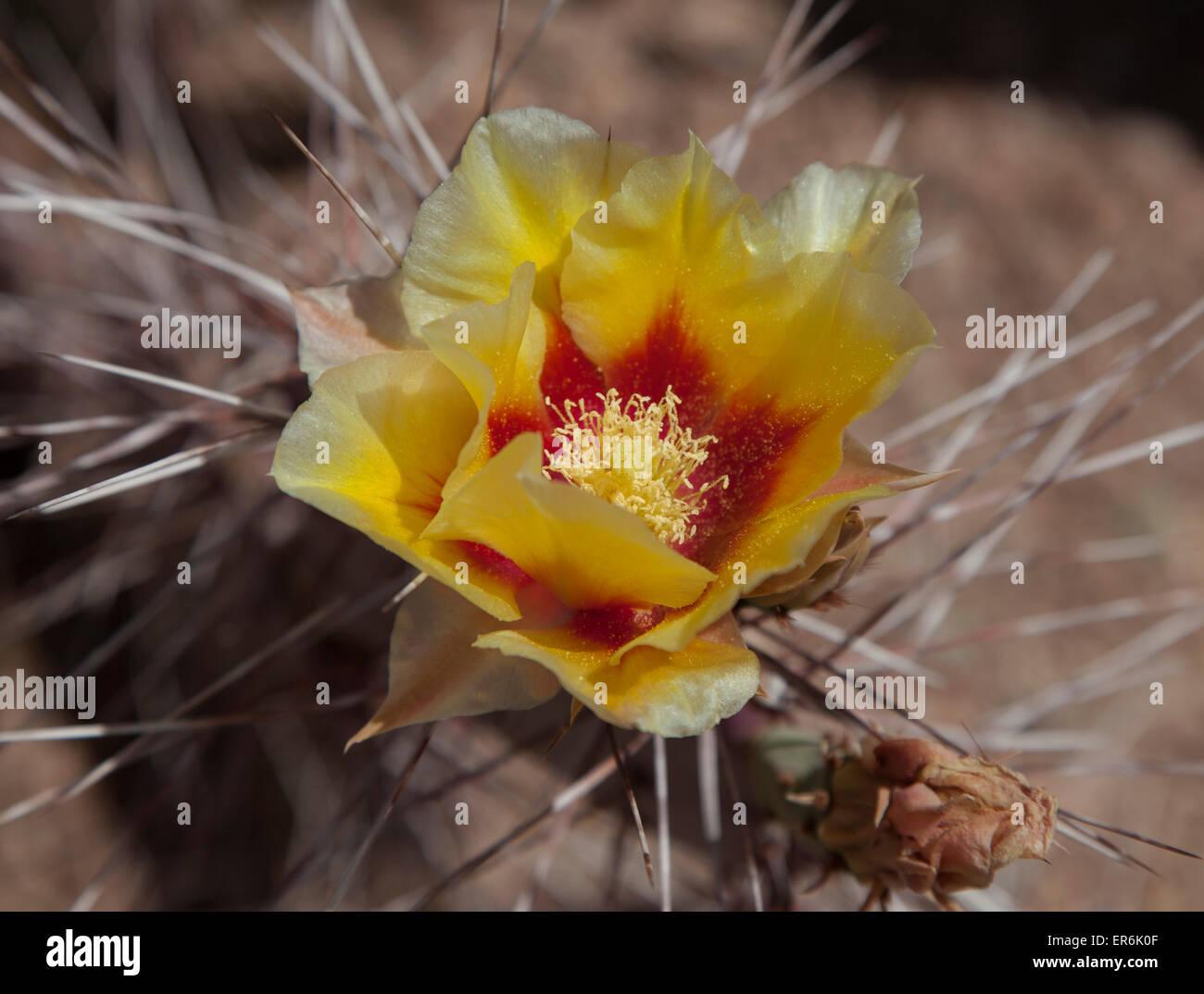 Prickly Pear Cactus Flower in der Nähe von Phoenix, Arizona, Vereinigte Staaten Stockbild
