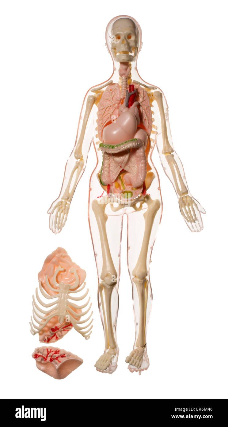 Human Organs Stockfotos Human Organs Bilder Alamy