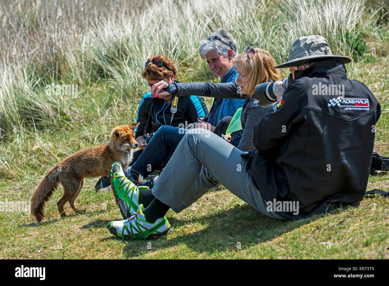 Zahme Rotfuchs (Vulpes Vulpes) von verantwortungslosen Touristen im Naturschutzgebiet gefüttert Stockbild