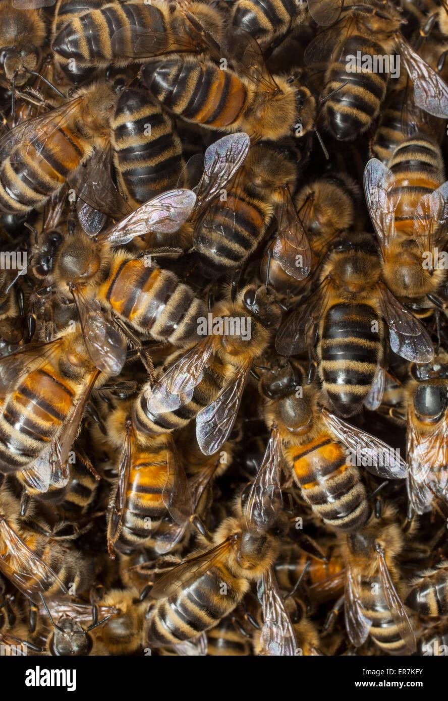 Ein Schwarm von Bienen, die ursprüngliche Kolonie verlassen haben, versammeln sich um ihre neue Bienenkönigin. Stockbild