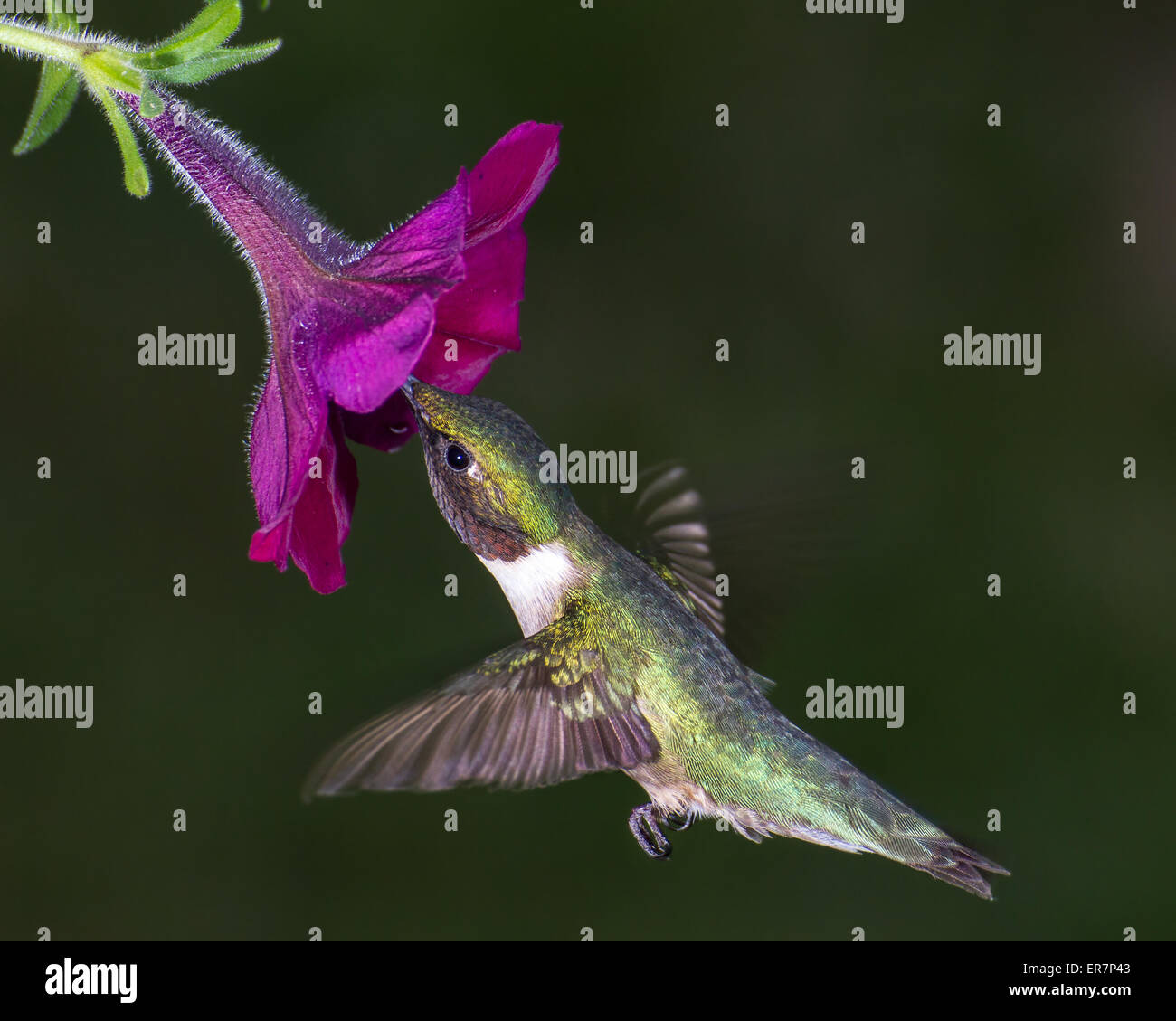 Ruby ? Throated Kolibris Nektar aus einer Blume zu sammeln. Stockbild