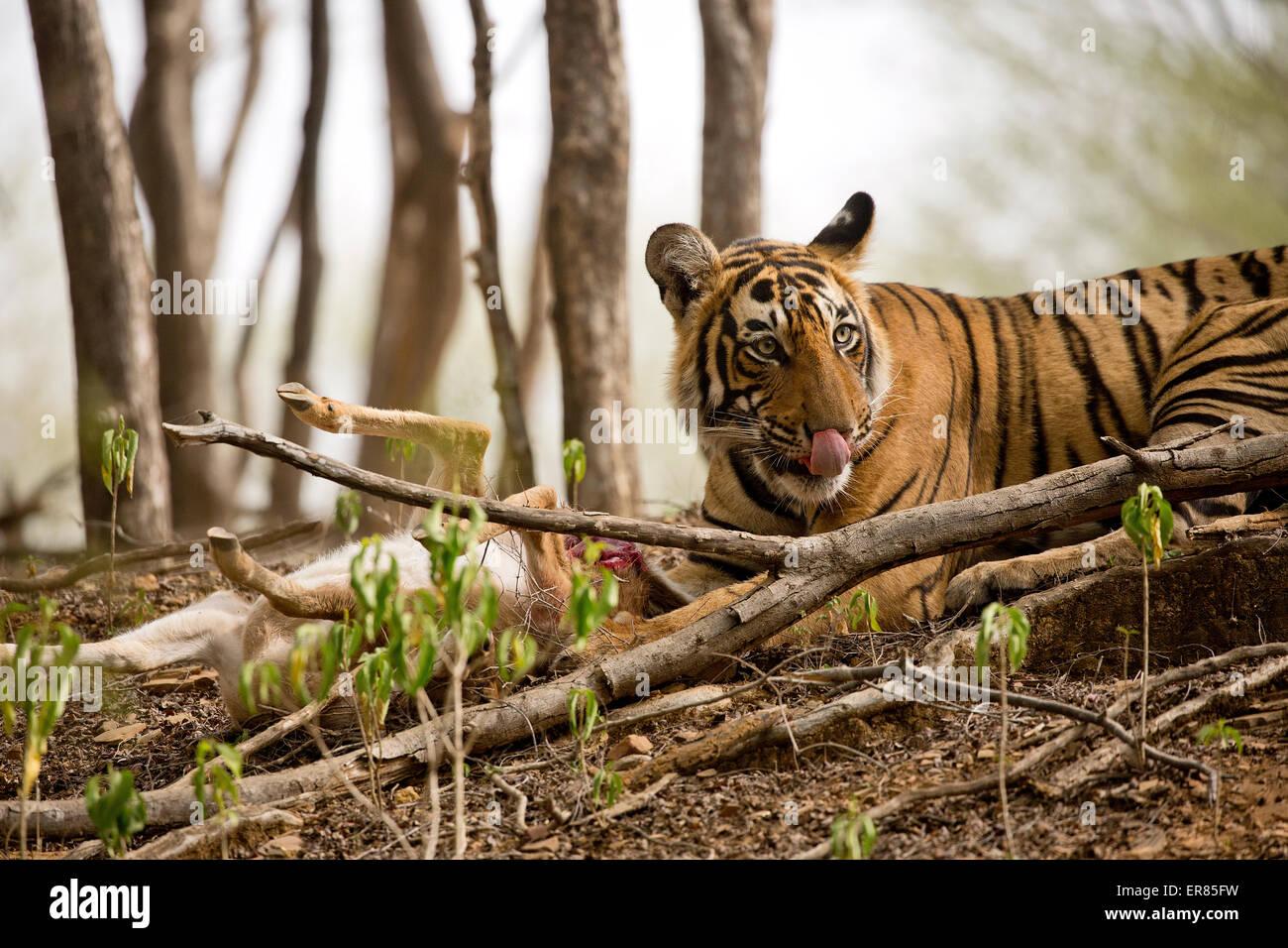 tiger licking stockfotos tiger licking bilder alamy. Black Bedroom Furniture Sets. Home Design Ideas