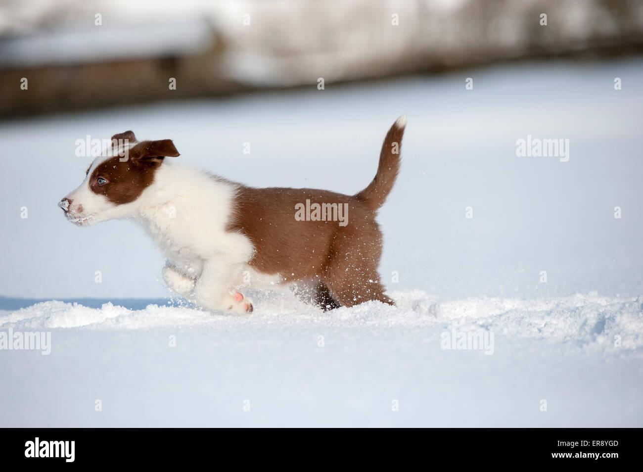 Rote und weiße Border-Collie Welpen p [Verlegung im Schnee. Yorkshire, Großbritannien Stockfoto