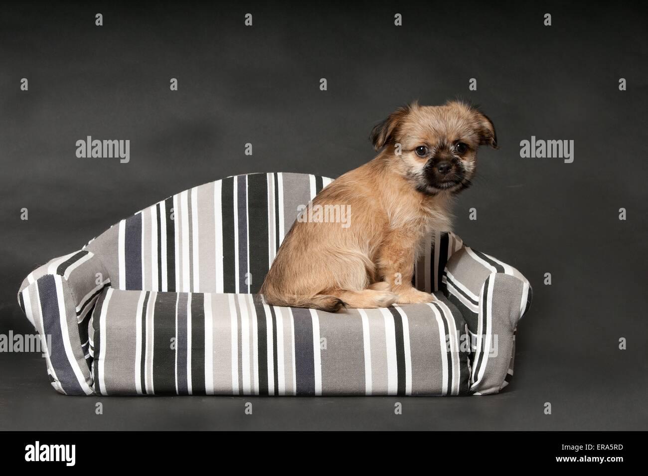 Chihuahua Mongrel Stockfotos & Chihuahua Mongrel Bilder - Alamy