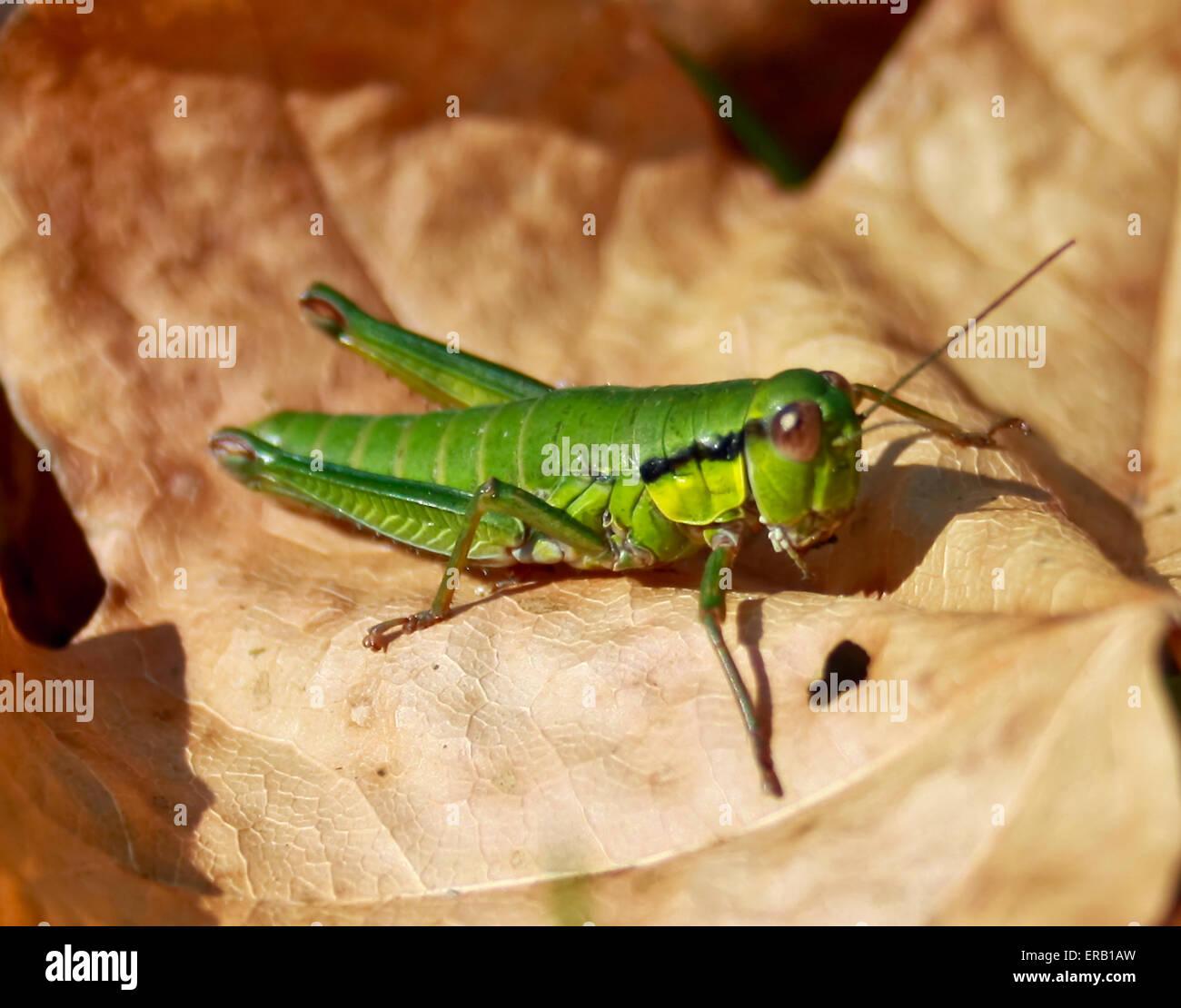 Ziemlich grün Insekt - Tettigonia Viridissima. Stockbild