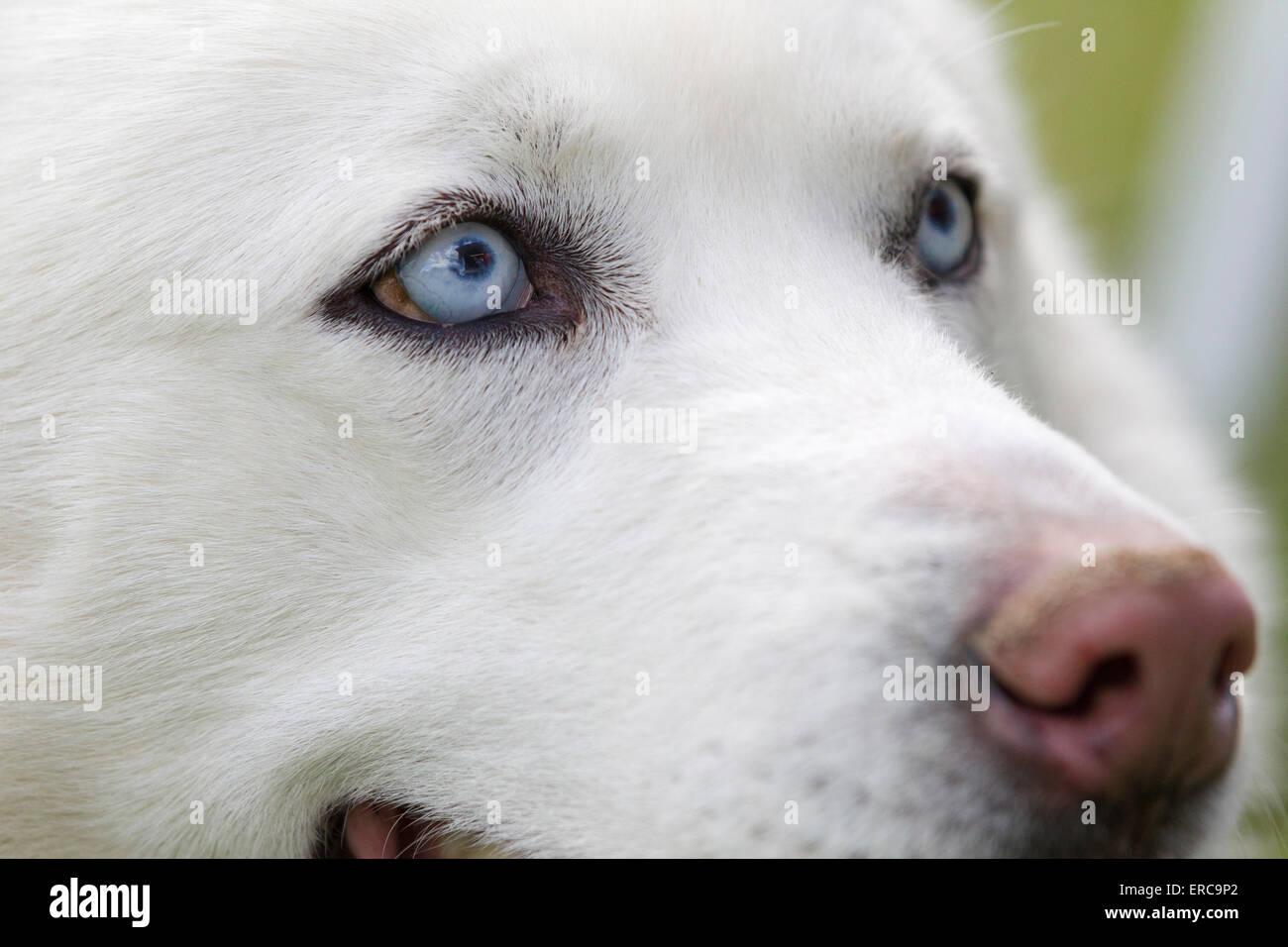close up schuss husky hunde blaue augen sch ne wei e siberian husky hund portrait stockfoto. Black Bedroom Furniture Sets. Home Design Ideas