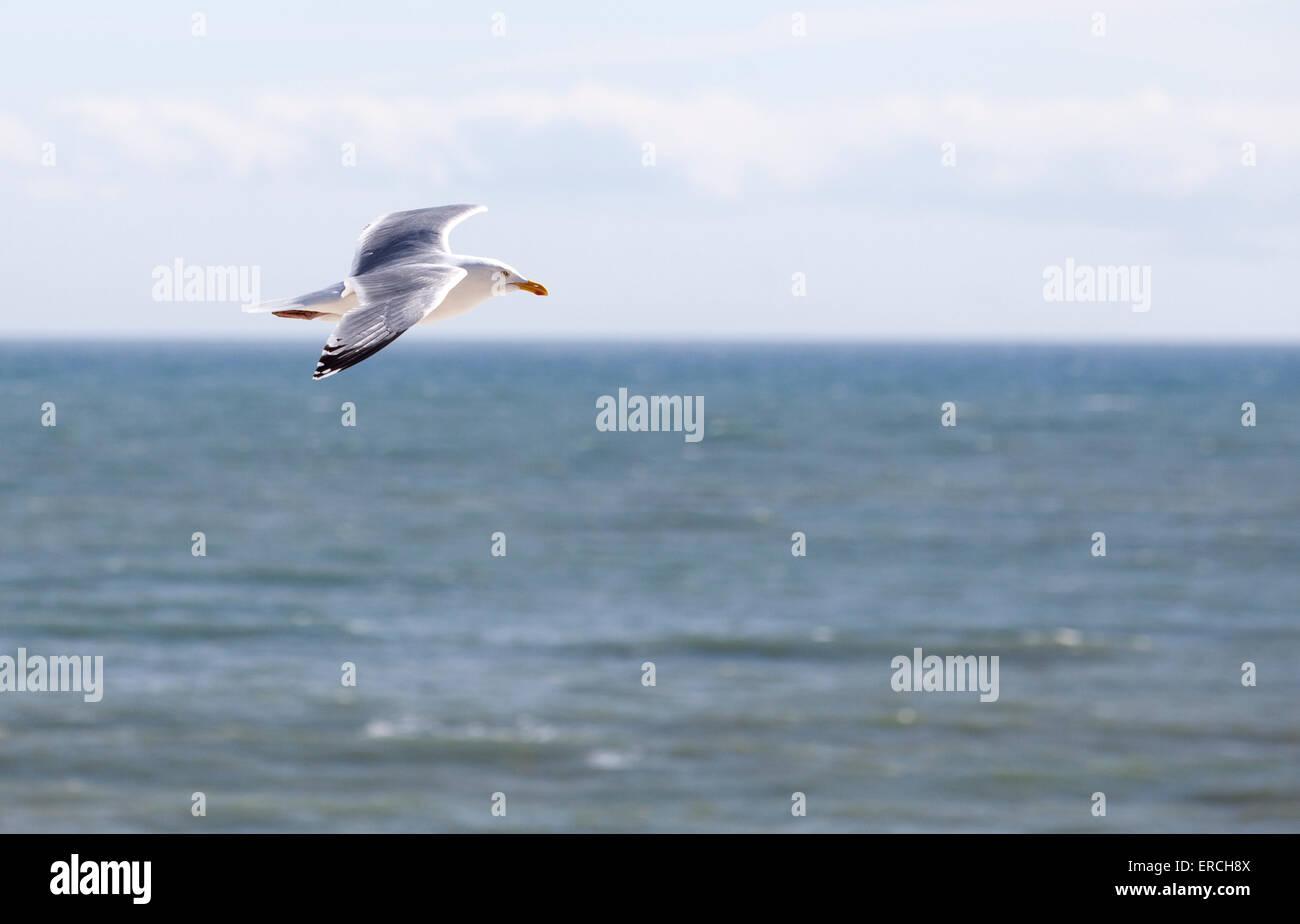 Möwe Möwe fliegen gegen einen klaren Meer und Himmel Hintergrund Stockbild
