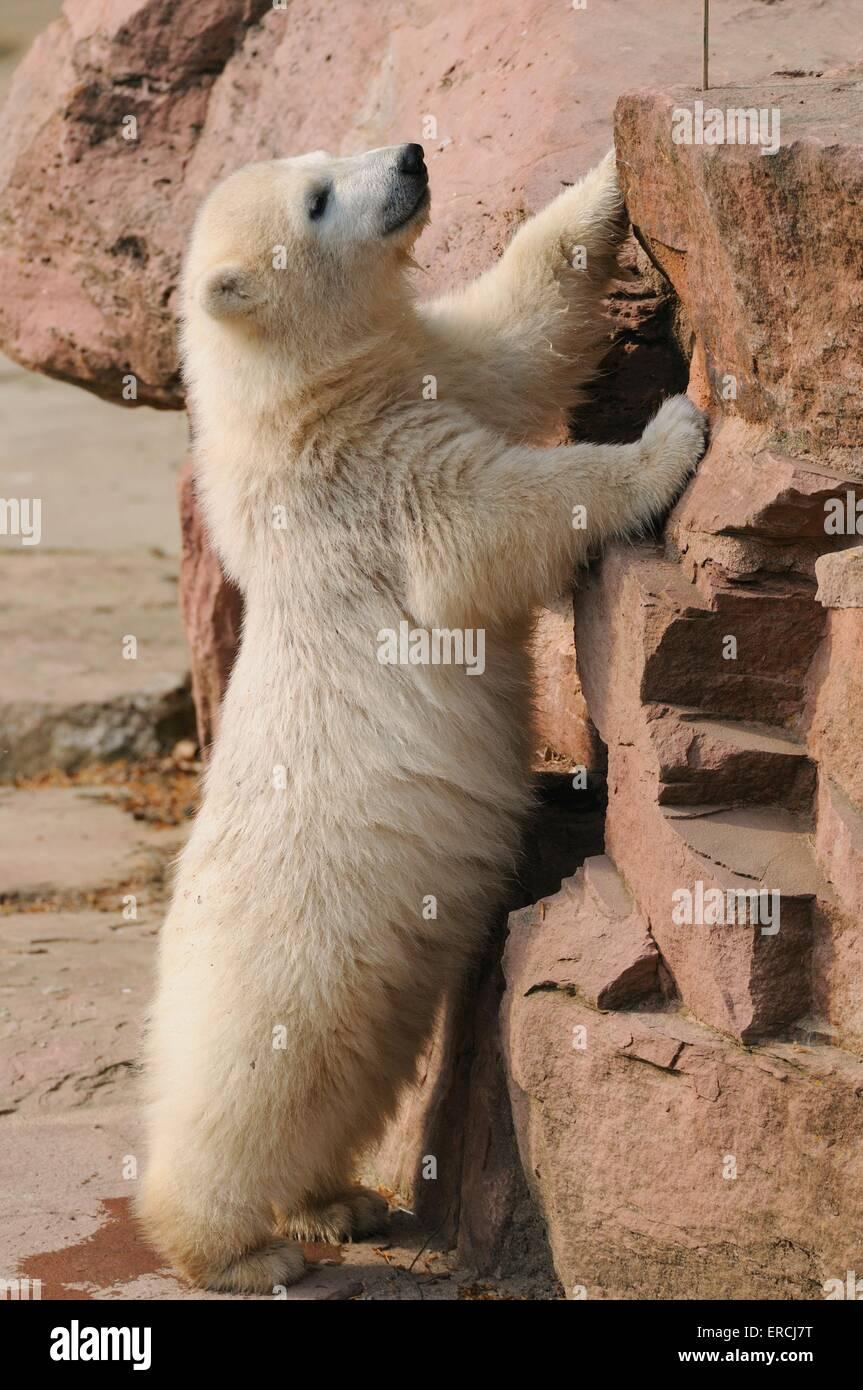 Tier-Bär Stockbild