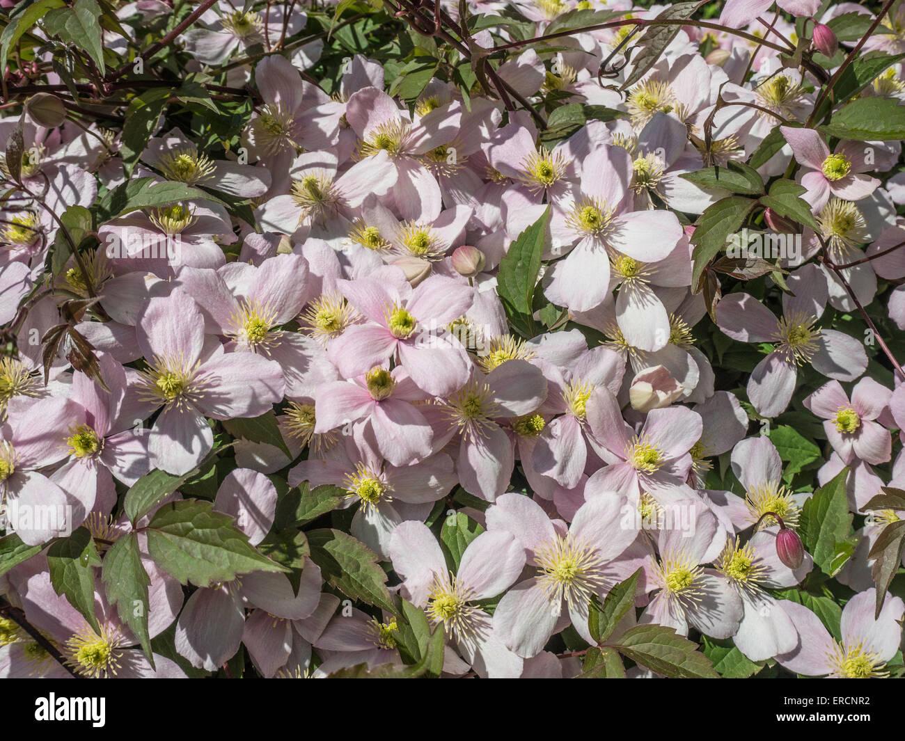 Clematis Montana Var Rubens 'Pink Perfektion' Stockbild