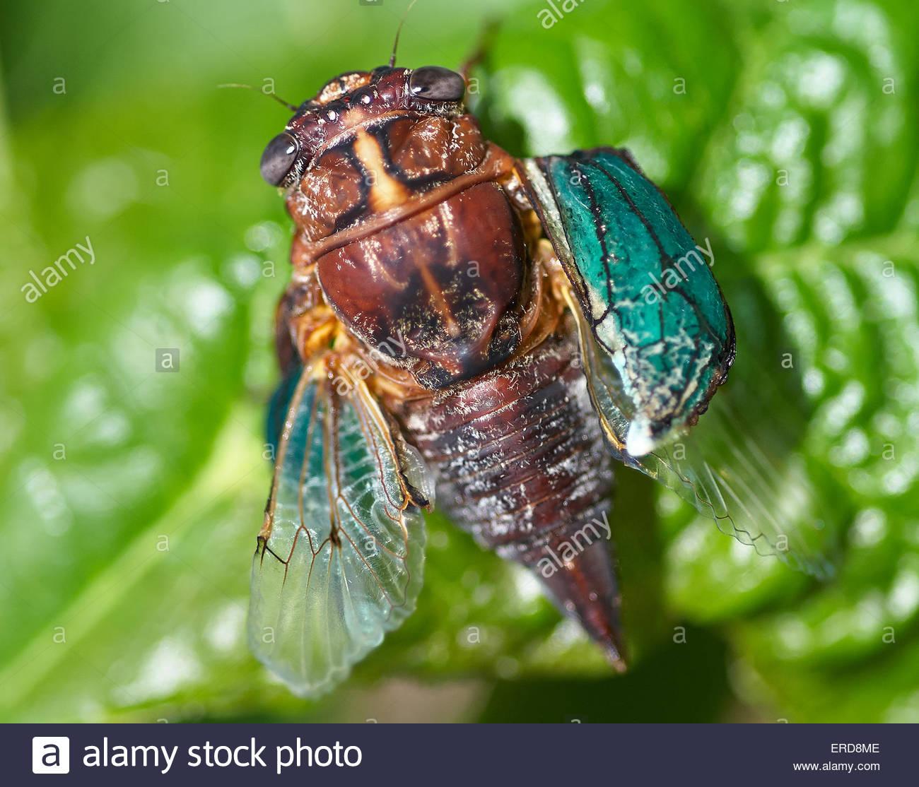 Eine junge zikade trocknet es Flügel auf ein großes grünes Blatt, nur von der Shell in das helle Stockbild