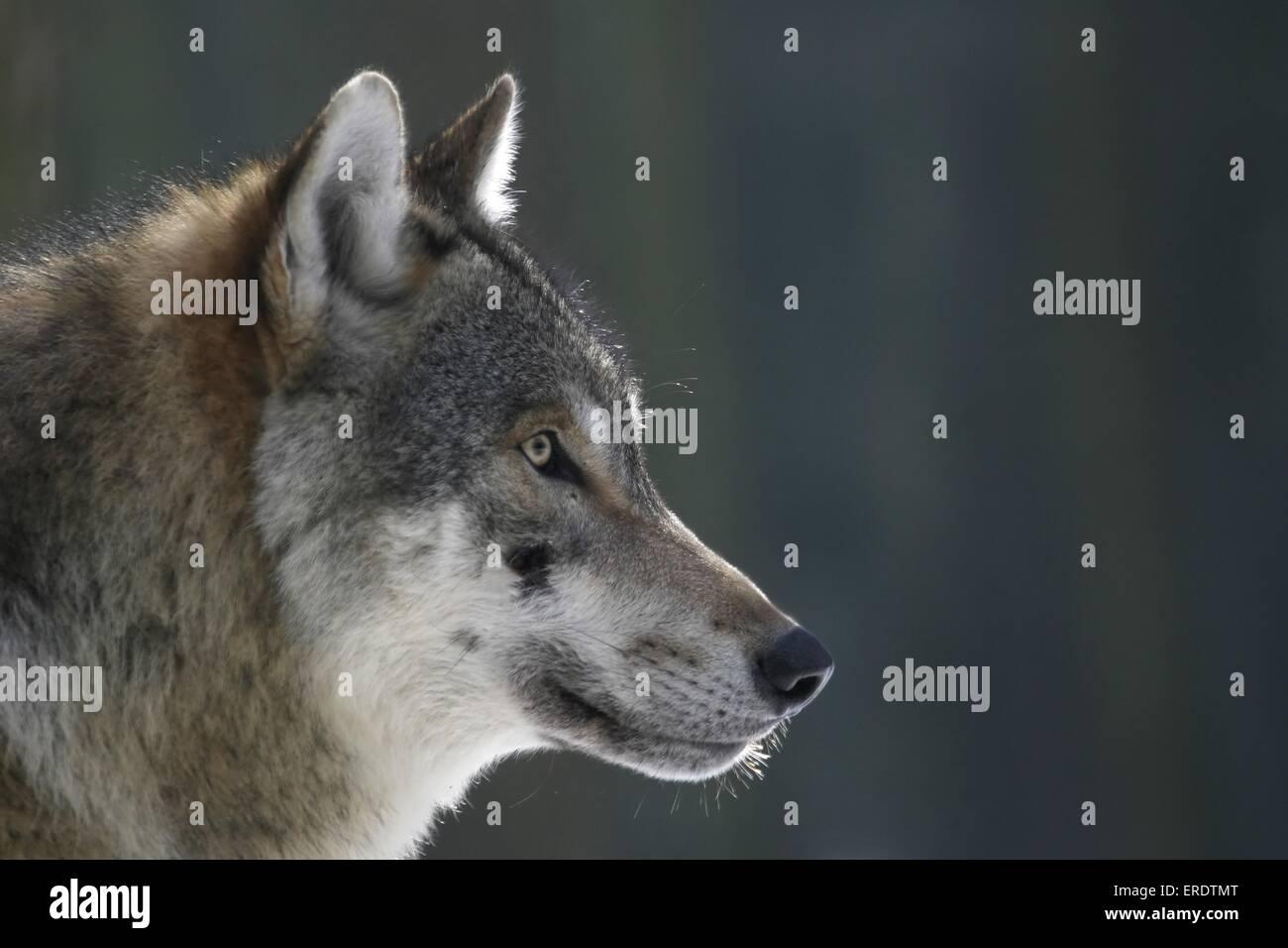 Europäischer Wolf-Porträt Stockbild