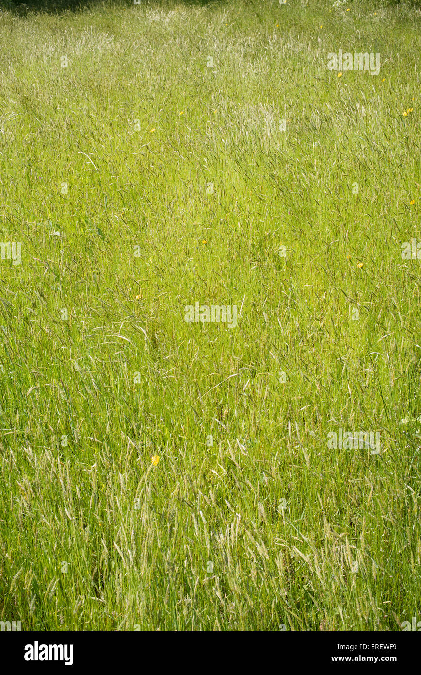 Wiese Gras im Frühling in die englische Landschaft. DE Stockbild