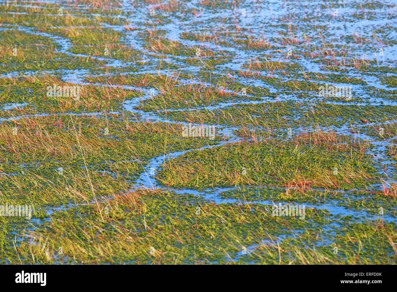 Hintergrund der Grünalgen und Wasser im Sumpf Stockbild