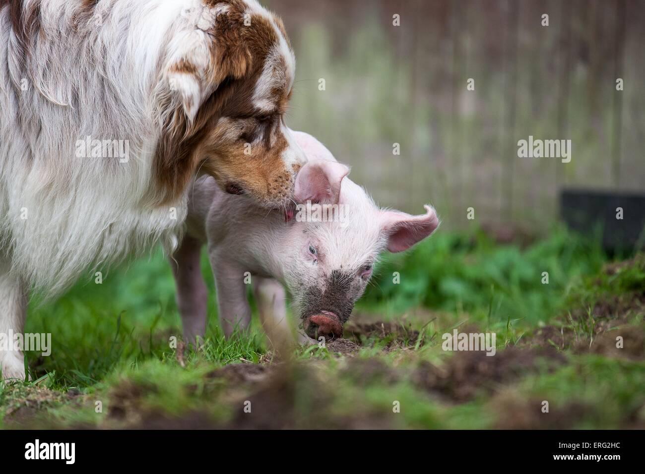 Ferkel und Hund Stockbild