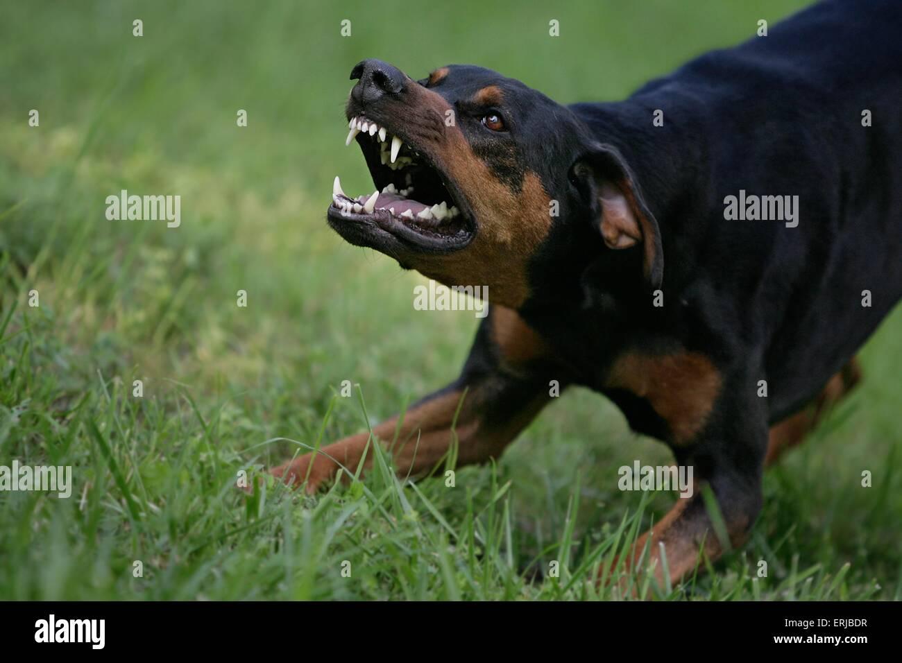 Big Black Dog Barking