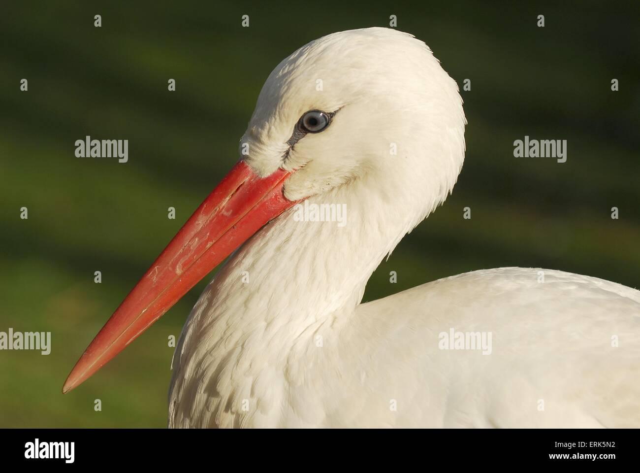 Weißstorch Stockbild