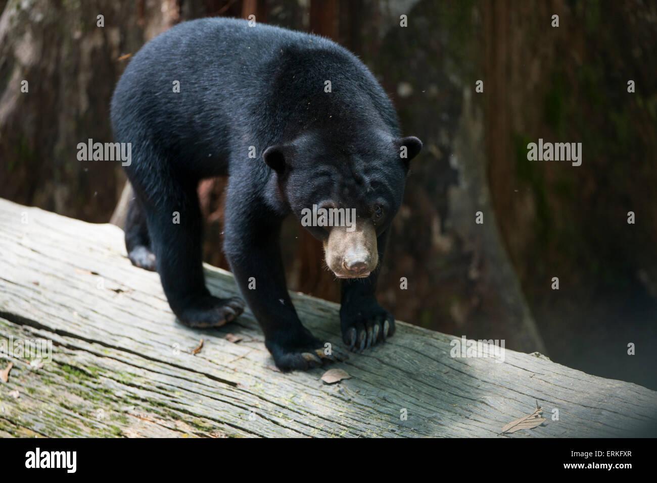 Bornean Sun Bear, Helarctos Malayanus, entspannen Sie sich auf Protokoll an die Bornean Sun Bear Conservation Centre, Stockfoto