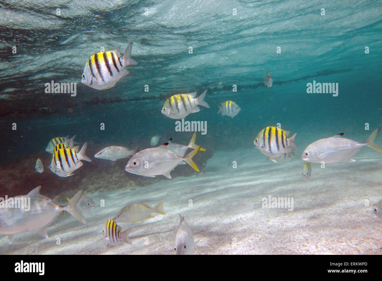 Bunte Fische schwimmen friedlich in Stingray City, ein Heiligtum, wo man seltene Arten wie Rochen, Antigua sehen Stockbild