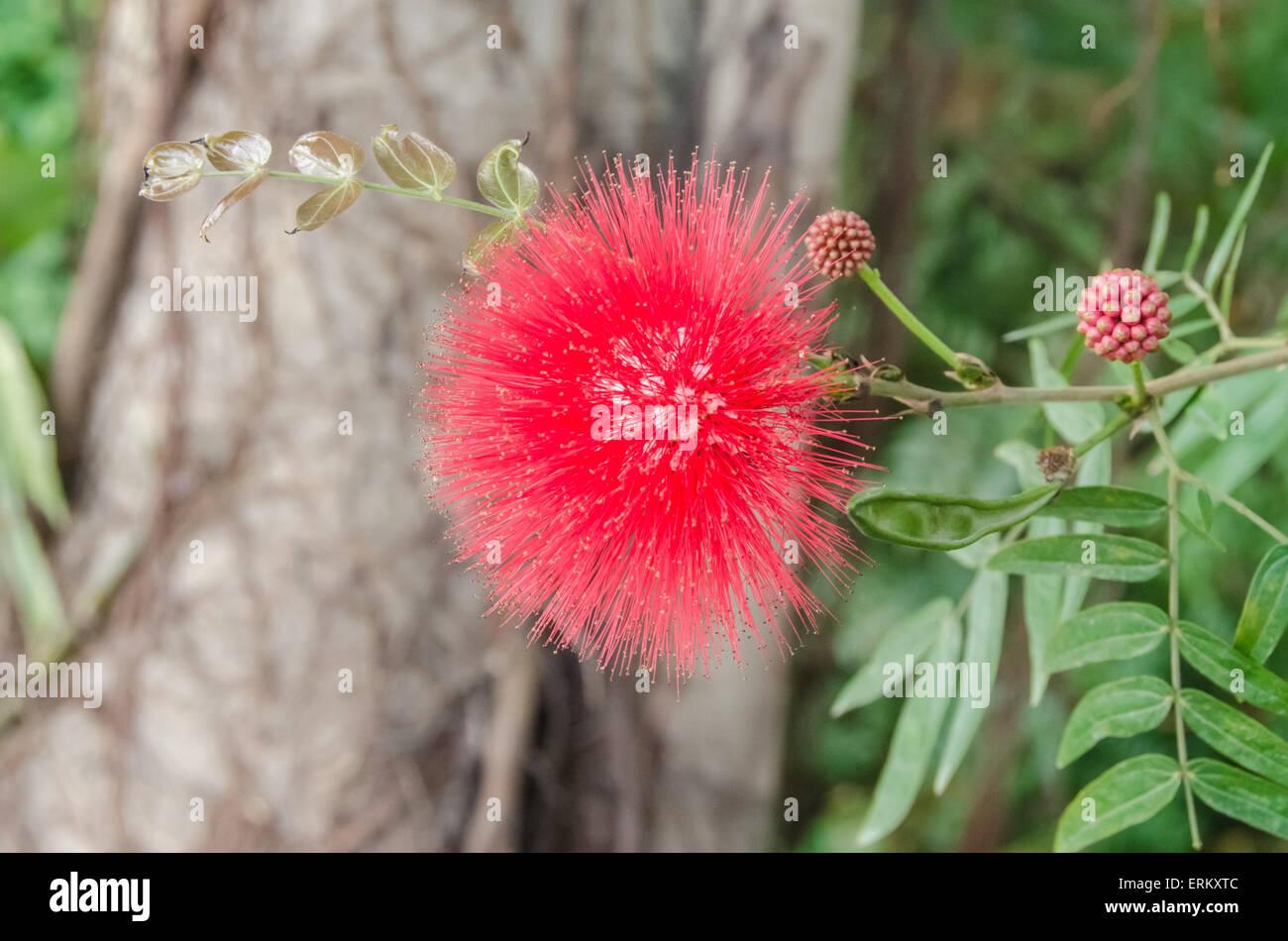 Red Bottle Brush Tree Callistemon Flower Stockfotos & Red ...