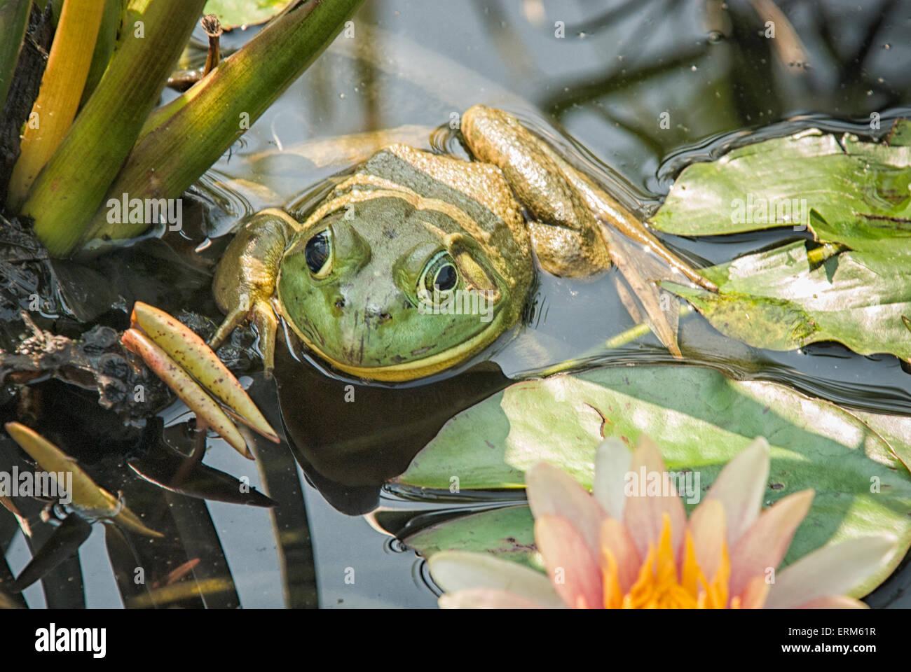 Amerikanischer Ochsenfrosch, Lithobates Catesbeianus oder Rana Catesbeiana, in einen Seerosenteich in New York State, Stockfoto