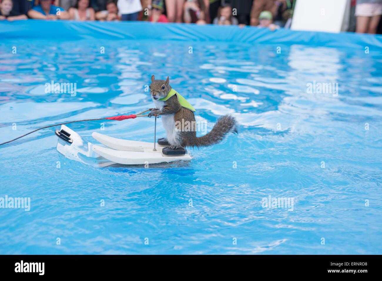 Austin, Texas, USA. 5. Juni 2015. TWIGGY das Wasserski-Eichhörnchen ...