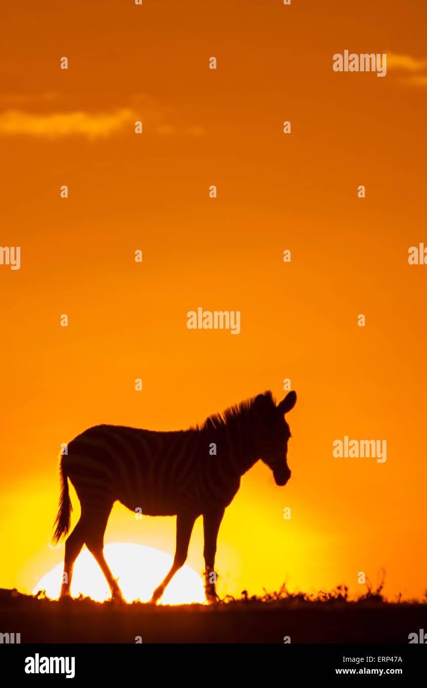 Ebenen Zebra (Equus Quagga) in der Morgendämmerung in Mara Naboisho Conservancy Kenia überrascht Stockbild