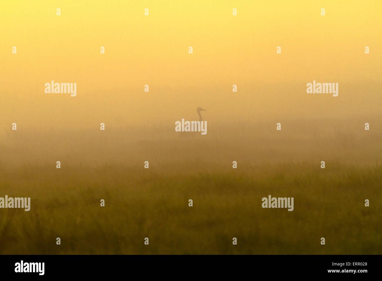 Kraniche in der Silhouette im Morgenlicht mit Nebel Mehrkampf und warmen Morgenlicht, Schweden Stockbild