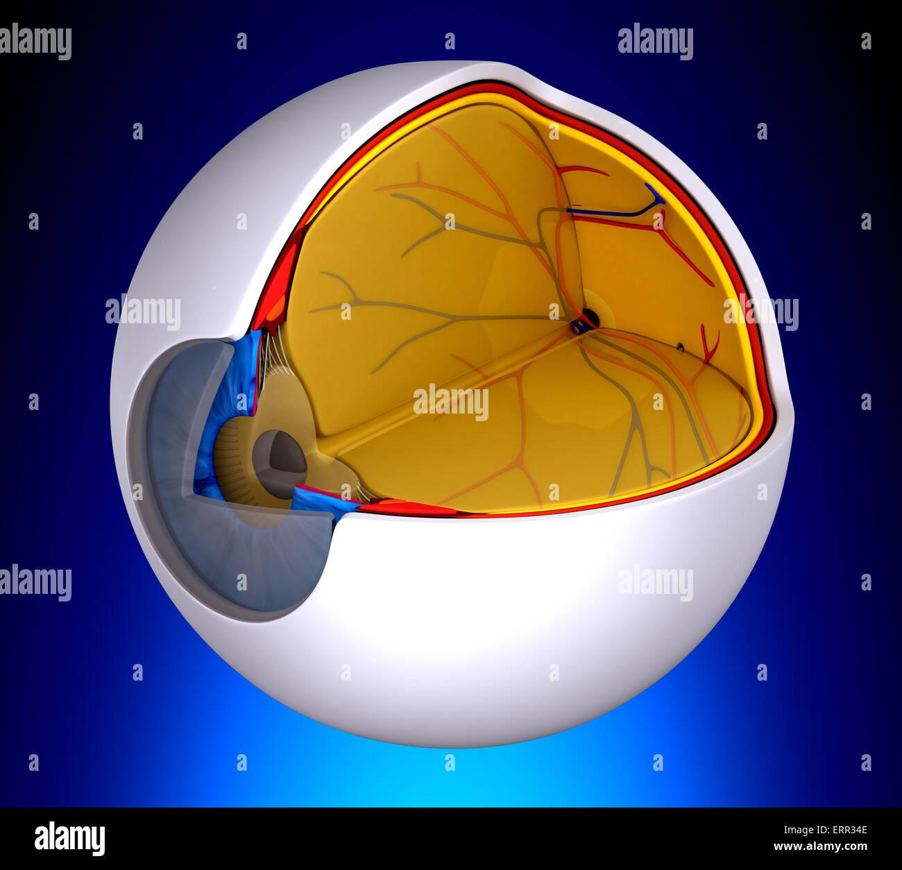 Augen-Querschnitt echte menschliche Anatomie - auf blauem ...