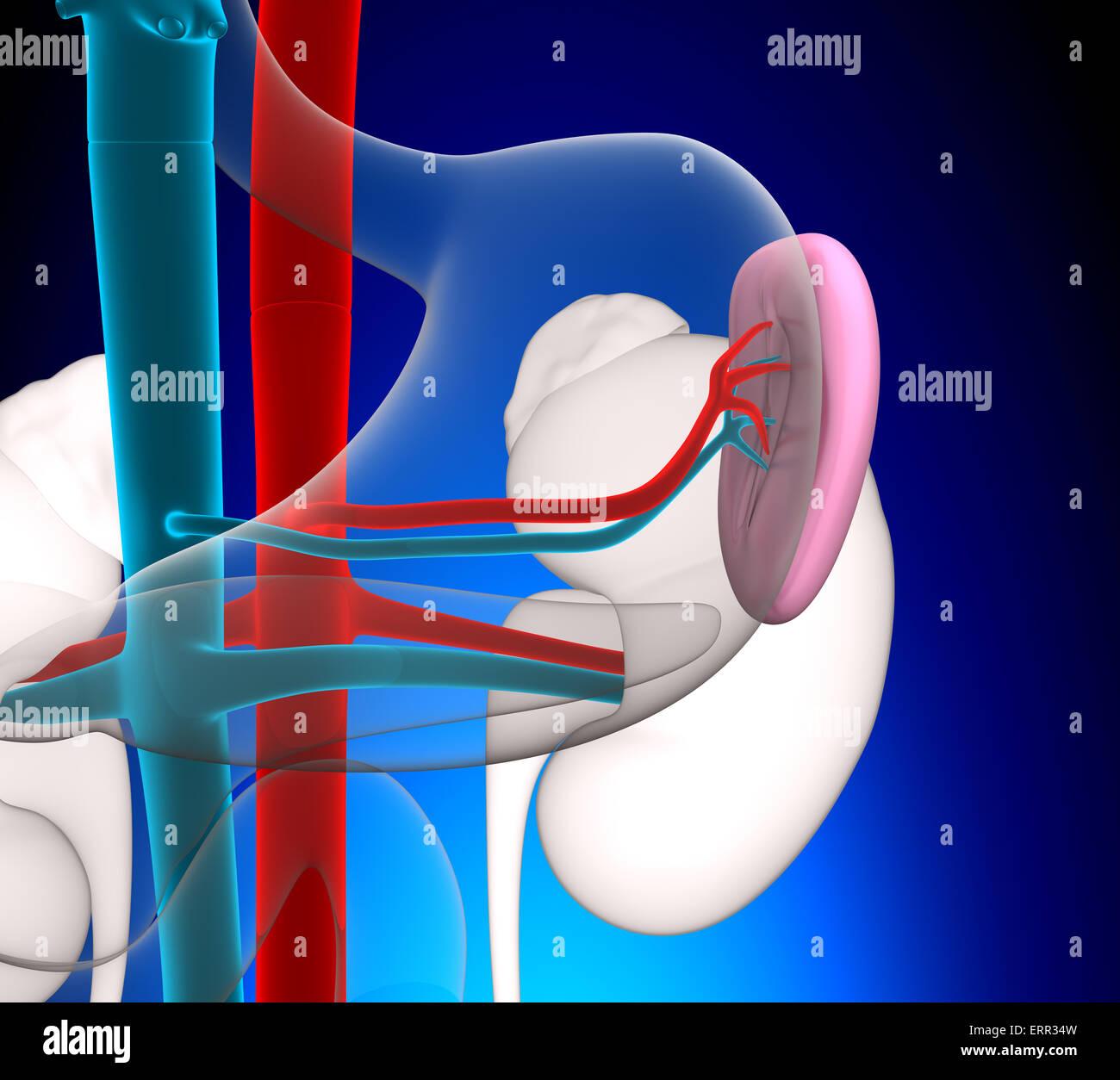 Milz Anatomie des Menschen mit Herz-Kreislauf-System auf blauem ...