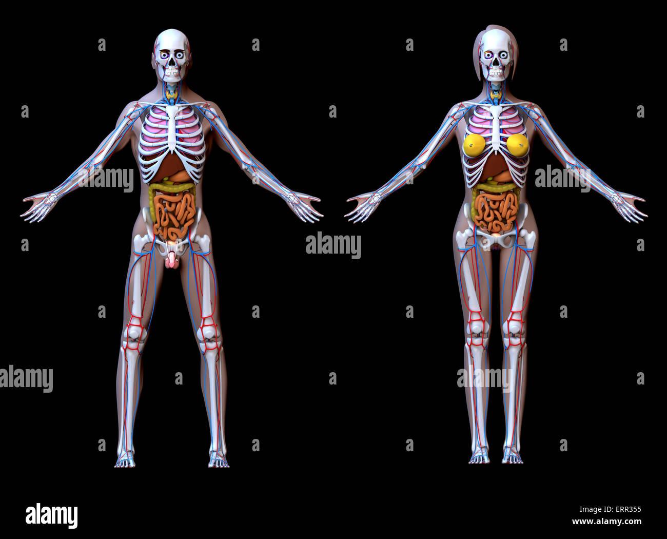 Muscular System Stockfotos & Muscular System Bilder - Alamy
