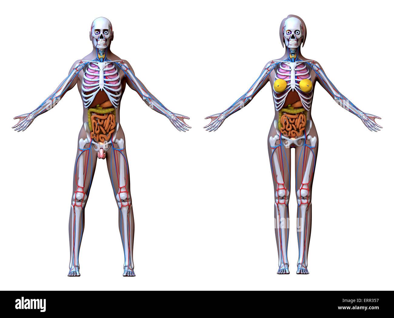 Muskulatur Stockfotos & Muskulatur Bilder - Alamy