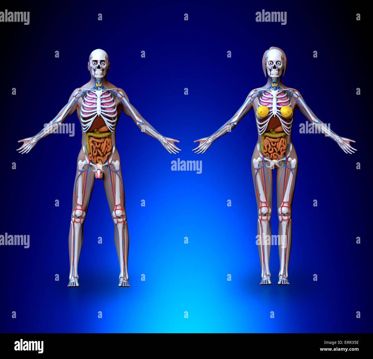 Männlich weiblich Anatomie - Organe, Herz-Kreislauf-System, Skelett ...