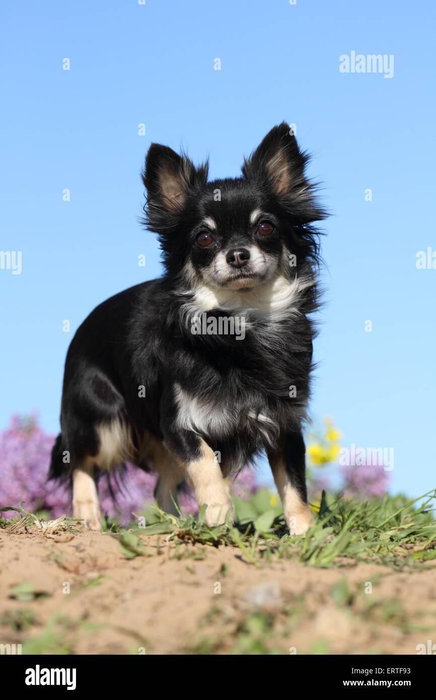 Schwarze Und Braune Lange Haare Chihuahua Stockfotos Und Bilder Kaufen Alamy
