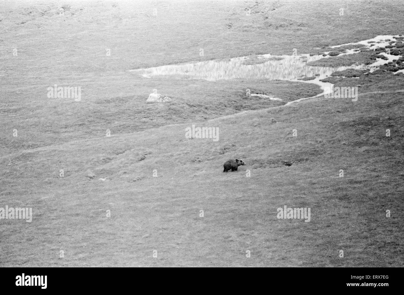 Hercules der Bär, aufgespürt und auf die Abfälle Moorlandschaften von North Uist, in den äußeren Stockbild
